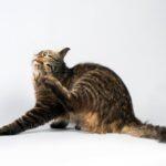 La importancia de la desparasitación de nuestros gatos