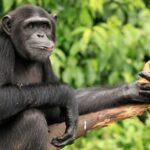 Día mundial del Chimpancé